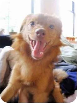 Pomeranian/Chihuahua Mix Dog for adoption in Brooklyn, New York - Gonzo