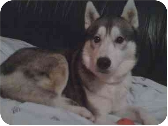 Husky Dog for adoption in Plainfield, Illinois - Maverick