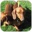 Photo 3 - Dachshund Dog for adoption in Garden Grove, California - Charlotte
