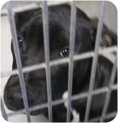 Pit Bull Terrier Mix Dog for adoption in Olathe, Kansas - Nod