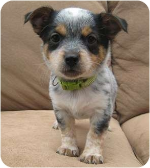 Jack Russell Terrier/Papillon Mix Puppy for adoption in Westminster, Colorado - DARLA