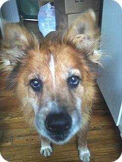 Chow Chow/Terrier (Unknown Type, Medium) Mix Dog for adoption in Houston, Texas - Buster