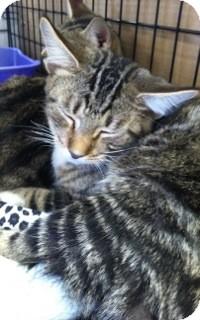 Domestic Shorthair Kitten for adoption in Warren, Michigan - Weanie