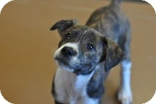 Beagle/Shepherd (Unknown Type) Mix Puppy for adoption in Baton Rouge, Louisiana - Sonny