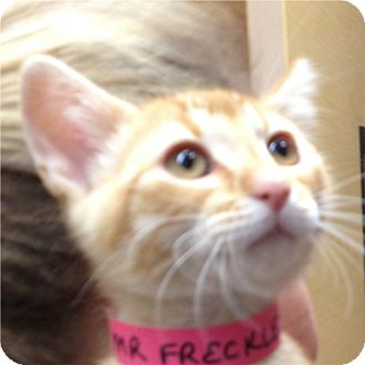 Domestic Shorthair Kitten for adoption in Weatherford, Texas - Mr. Freckles
