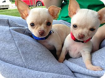 Chihuahua Puppy for adoption in Glastonbury, Connecticut - Antonio an Jose