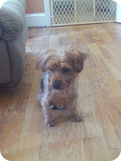 Yorkie, Yorkshire Terrier/Terrier (Unknown Type, Small) Mix Dog for adoption in Indian Trail, North Carolina - Lady