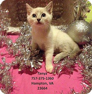 Siamese Kitten for adoption in Virginia Beach, Virginia - Tanya
