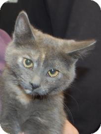Domestic Shorthair Kitten for adoption in Brooklyn, New York - Lilly Ann
