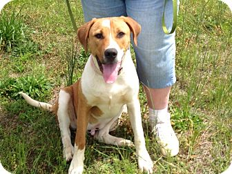 Boxer/Hound (Unknown Type) Mix Dog for adoption in Marshfield, Massachusetts - Cooper