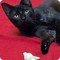 Adopt A Pet :: Cinderfella - Chicago, IL