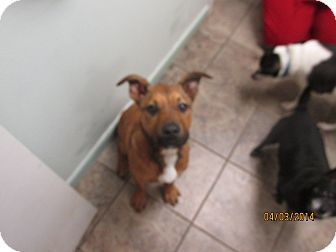 Boxer/Labrador Retriever Mix Puppy for adoption in Cottonport, Louisiana - Sassy