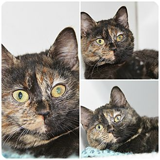 Domestic Shorthair Kitten for adoption in Forked River, New Jersey - Inky Dew