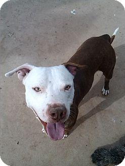 Pit Bull Terrier/Pointer Mix Puppy for adoption in Hurricane, Utah - Camden
