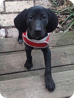 Labrador Retriever/Hound (Unknown Type) Mix Puppy for adoption in Brattleboro, Vermont - Widget