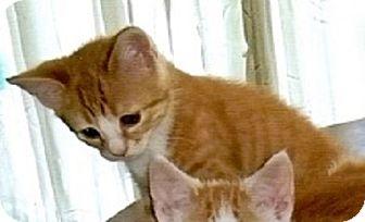 Domestic Shorthair Kitten for adoption in Concord, North Carolina - Polka