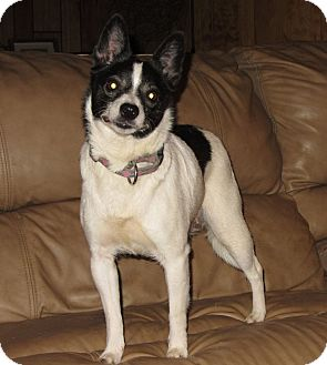 Rat Terrier/Chihuahua Mix Dog for adoption in Spring Valley, New York - Tot