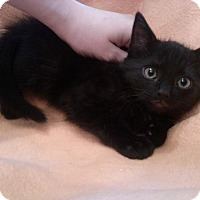 Adopt A Pet :: Bartholomeow - Port Republic, MD