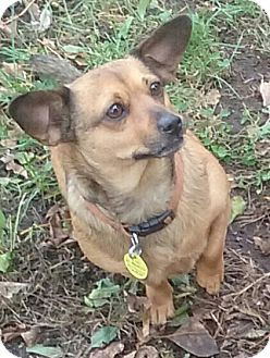 Chihuahua/Dachshund Mix Dog for adoption in Minneapolis, Minnesota - Chica