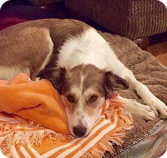 Border Collie/Sheltie, Shetland Sheepdog Mix Dog for adoption in Huntsville, Alabama - Molly