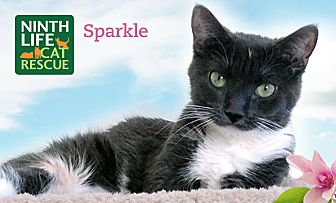 Domestic Shorthair Cat for adoption in Oakville, Ontario - Sparkle