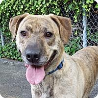 Adopt A Pet :: Savannah - Port Washington, NY
