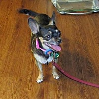 Chihuahua Mix Dog for adoption in Scottsdale, Arizona - Nibbles