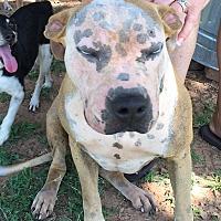 American Bulldog Mix Dog for adoption in Blanchard, Oklahoma - Sandy