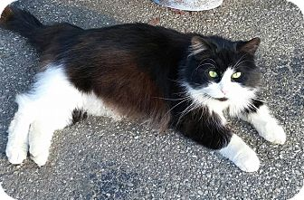 Maine Coon Cat for adoption in detroit, Michigan - OREO-adopted