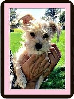 Silky Terrier/Yorkie, Yorkshire Terrier Mix Puppy for adoption in Rancho Cucamonga, California - Pixie