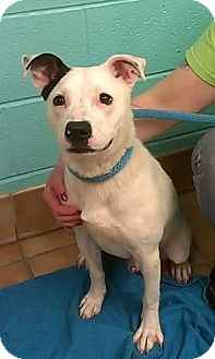 Pit Bull Terrier/Dalmatian Mix Dog for adoption in Indianapolis, Indiana - Snoopy