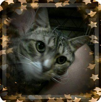 Domestic Shorthair Cat for adoption in Trevose, Pennsylvania - Mendler