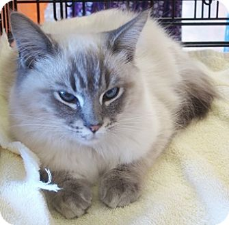 Siamese Cat for adoption in Castro Valley, California - Lena