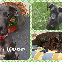 Adopt A Pet :: Ron Weasley - DOVER, OH
