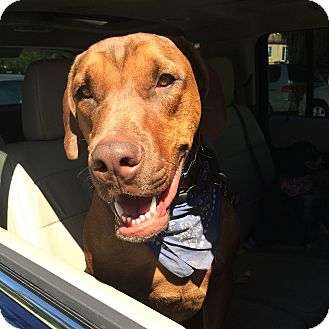 Doberman Pinscher/Bulldog Mix Dog for adoption in Burbank, California - Rufus