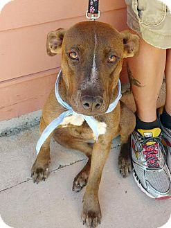 Terrier (Unknown Type, Medium) Mix Puppy for adoption in Nashville, Tennessee - Mandy