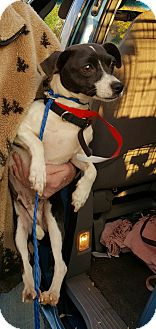 Rat Terrier Mix Dog for adoption in Loudonville, New York - Sassy