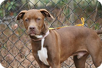 Vizsla/Labrador Retriever Mix Dog for adoption in Media, Pennsylvania - RHETT BUTLER