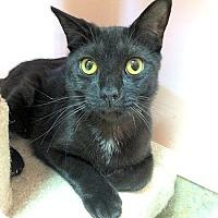 Domestic Shorthair Cat for adoption in Lunenburg, Massachusetts - Lydia