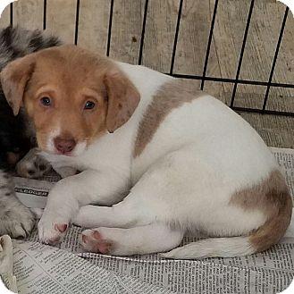 Australian Shepherd/Corgi Mix Puppy for adoption in Milford, New Jersey - Cannoli