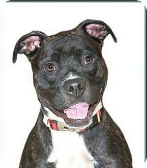 American Pit Bull Terrier Mix Dog for adoption in Rockville, Maryland - Brickle