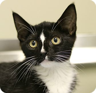 Domestic Shorthair Kitten for adoption in Cedartown, Georgia - 35806634