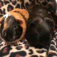 Adopt A Pet :: Stormy - Edmond, OK