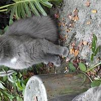 Adopt A Pet :: Fluffy - Venice, FL