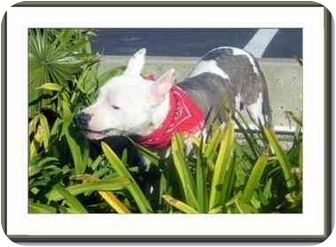 American Staffordshire Terrier Mix Dog for adoption in San Clemente, California - BEYONCE