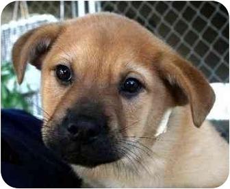 Chow Chow/Labrador Retriever Mix Puppy for adoption in Albany, Georgia - Flea