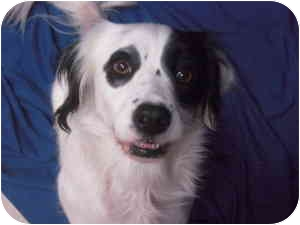 English Springer Spaniel/Pointer Mix Dog for adoption in Staunton, Virginia - Emma