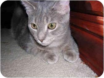 Domestic Shorthair Cat for adoption in Richmond, Virginia - Jesse