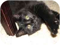 Domestic Mediumhair Cat for adoption in Tampa, Florida - Cole
