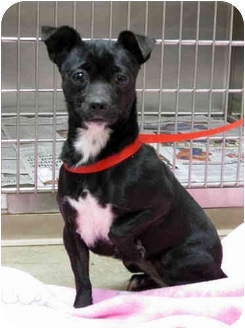 Chihuahua/Boston Terrier Mix Dog for adoption in Overland Park, Kansas - Dixie